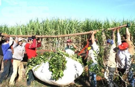 知っていますか?マテ茶の生産方法