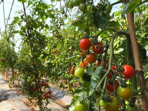 中国のビニールハウスで育てたミニトマト