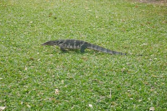 ルンピニ公園のオオトカゲ