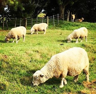 人口よりも羊が多い