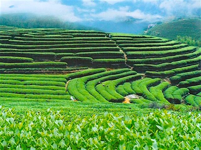 これで決まり!台湾に来たらお土産にしたいおすすめの台湾茶7選