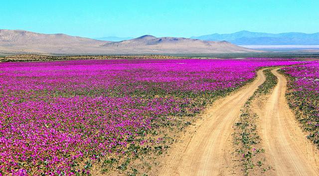 アタカマ砂漠のお花畑