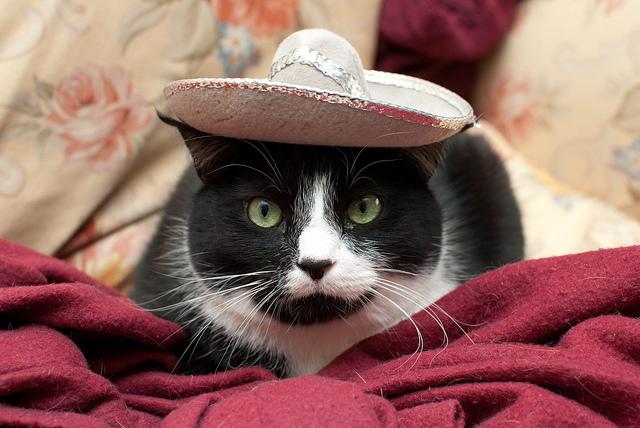 メキシコの猫