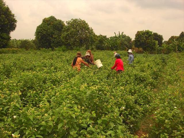 カンダル州、ジャスミンの花の収穫
