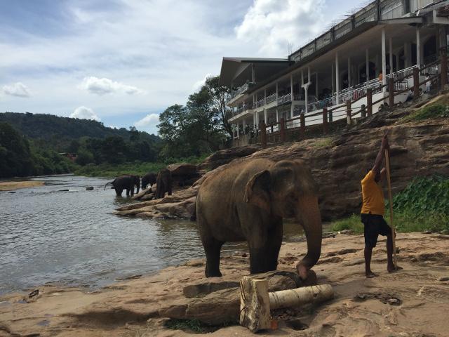 スリランカの象