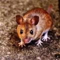 オランダ在住者必見!部屋に出没するネズミ対策