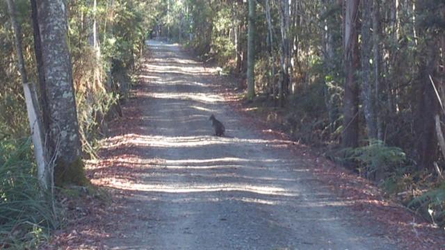 道路にいるカンガルー