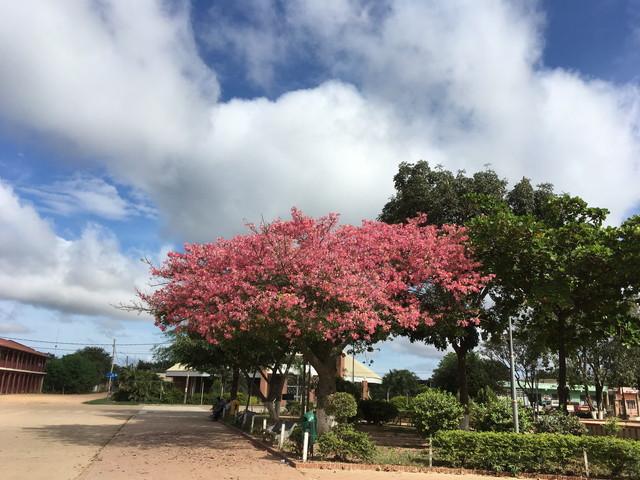 ボリビアの木