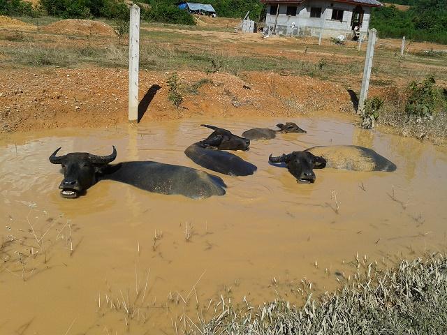 入浴中の水牛