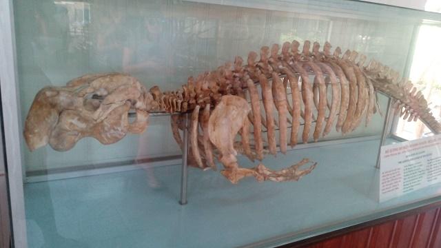 ジュゴンの骨格標本
