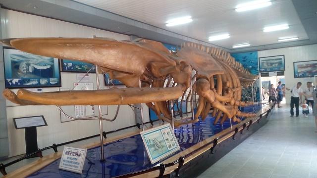 巨大クジラの骨格標本