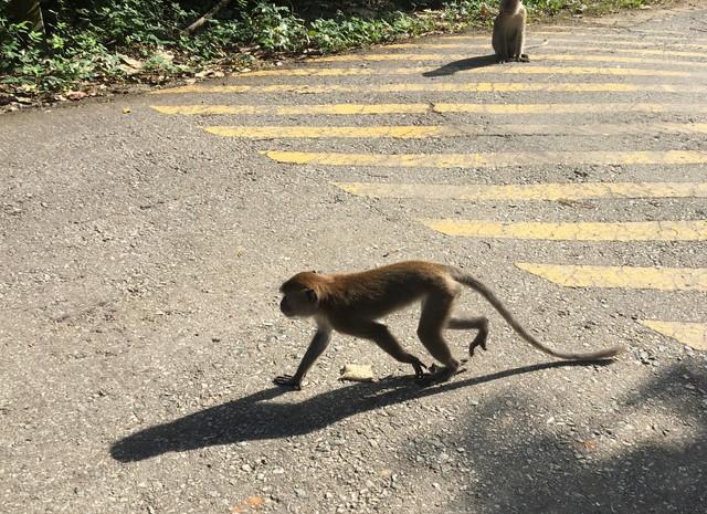 ウビン島の猿