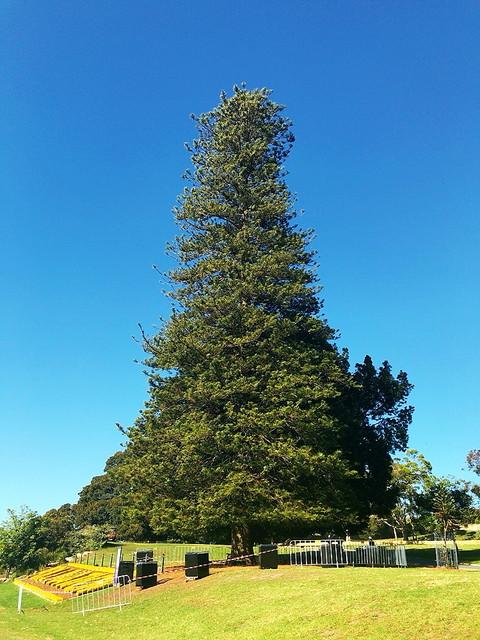 シドニーの木
